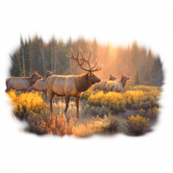 MORNING GLORY - ELK